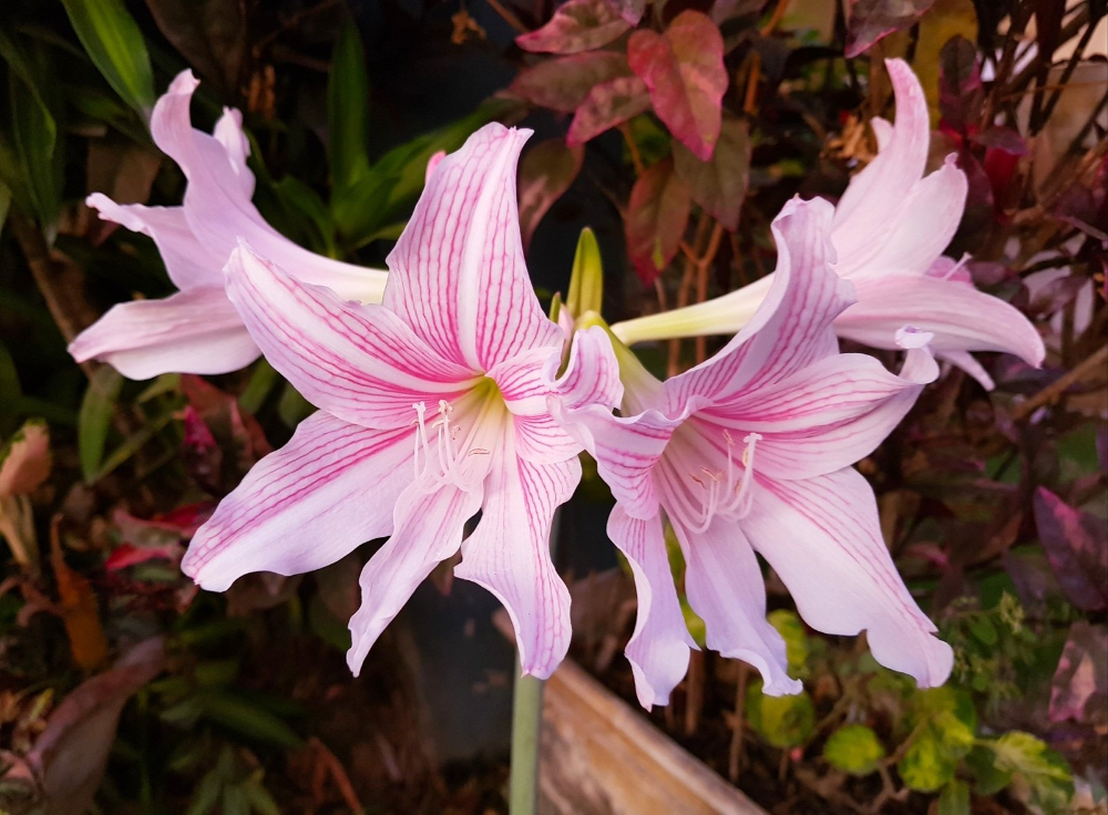 Dream Yard Team On Twitter Amaryllis Flowers Flower Names Flowers Name List