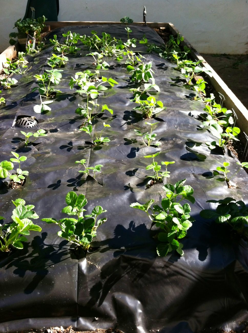 Using Plastic Sheeting To Grow Strawberries Lay Soaker Hose Or Drip Irrigation Under The Plastic Instead Of P Growing Strawberries Strawberry Plants Plants