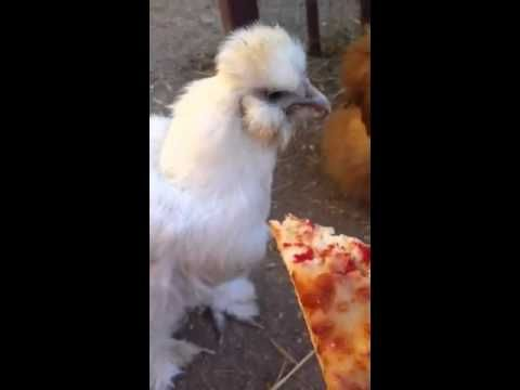 YouTube- Silkie Chickens eat pizza.