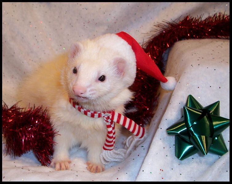 Christmas Ferret.Christmas Ferret Ferrets And Ferretisms And Their Cousins