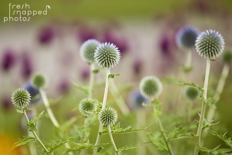 I love the look and the name of Echinops