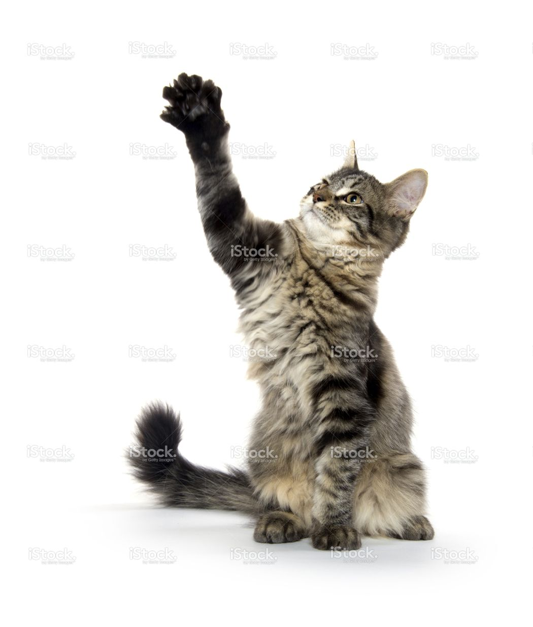 Cute Tabby Cat With Long Fluffy Tail Playing On White Background