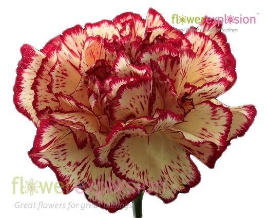 #Burgundy & #White #Carnations