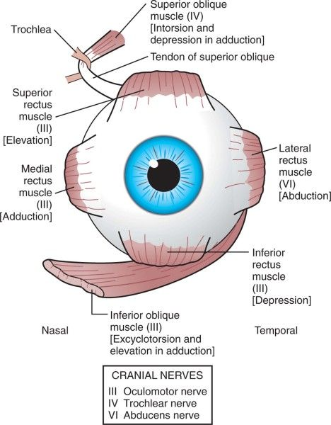 Muscles And Eye Movements Extraocular Eye Health Medicine And