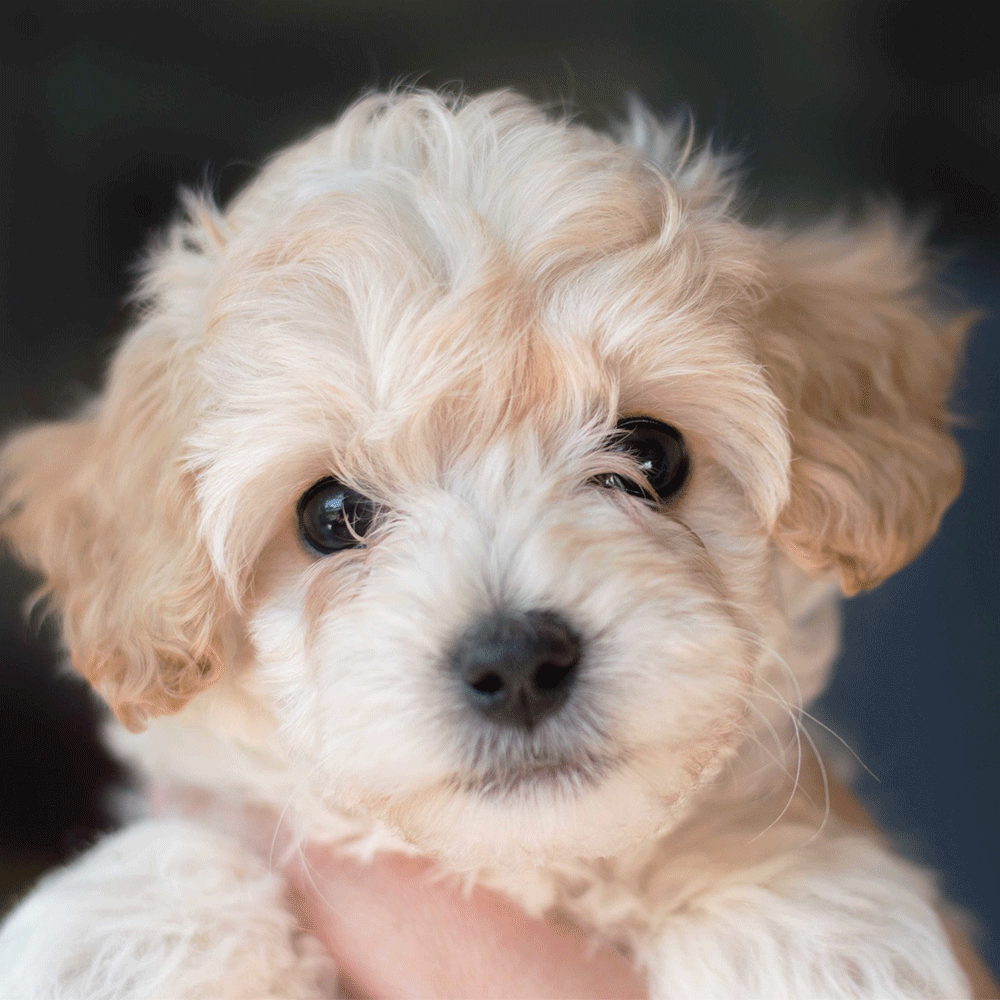 Adorable Cream Cockapoo Puppy These Puppies Are So Cute And Smart 3 Cockapoo Puppies Puppies Cockapoo Dog