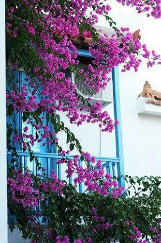 Bougainvillea growing against a veranda.
