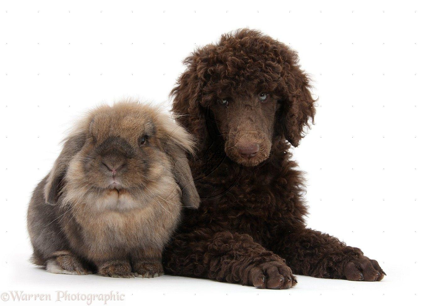 Bernese Mountain Dog Mix Puppies Michigan 2021