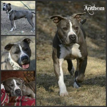 Dog Finder Adopt A Dog Or Cat Near You Dogs Pitbull Terrier