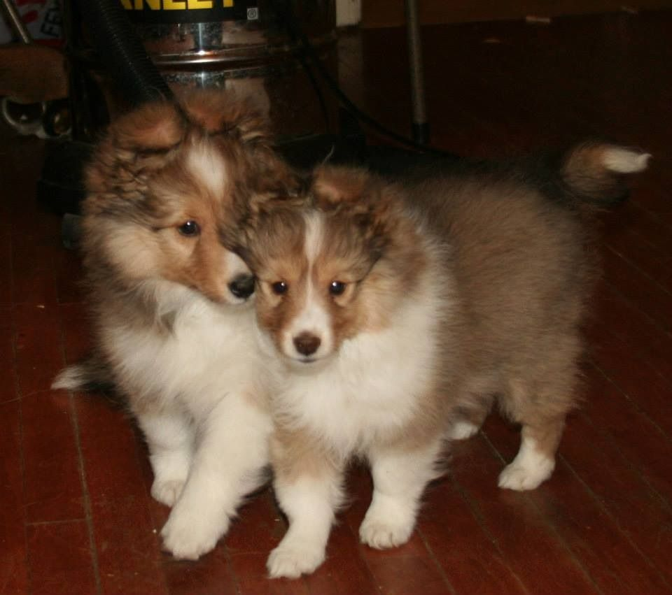 fluffy sheltie by ragzx0fxlace - photo #5