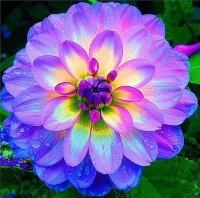 Fiori.Fiori Su Veneto E Friuli Dahlia Flower Coltivare I Fiori Fiori