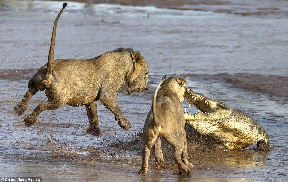 Pack Of Lions Take On Angry Crocodile In Vicious Battle Over Prey