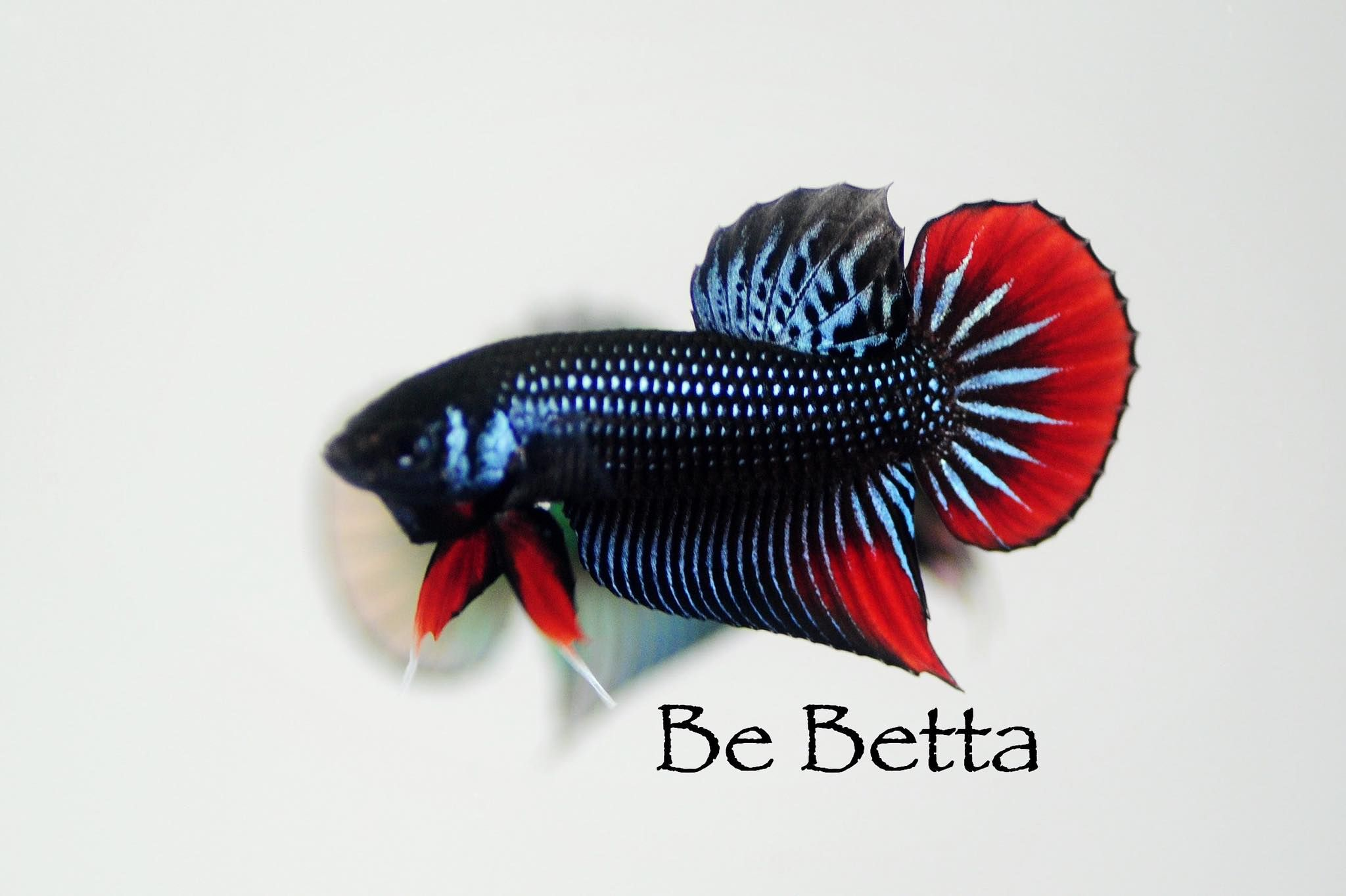 #bebetta #bettafish #betta #wildbetta #ปลากัด #ปลากัดป่า #ปลากัดป่าเอเลี่ยน #ปลากัดป่าพัฒนา #ปลากัดสวยงาม