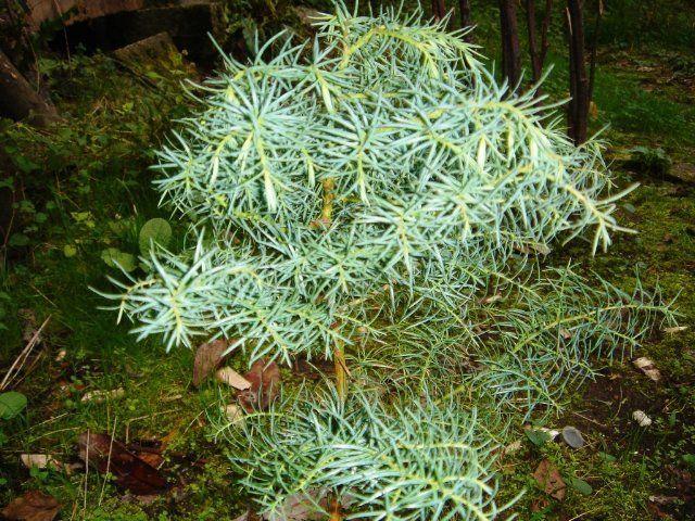 CRYPTOMERIA JAPONICA 'ELEGANS' | Jardins, Conifères, Vegetal