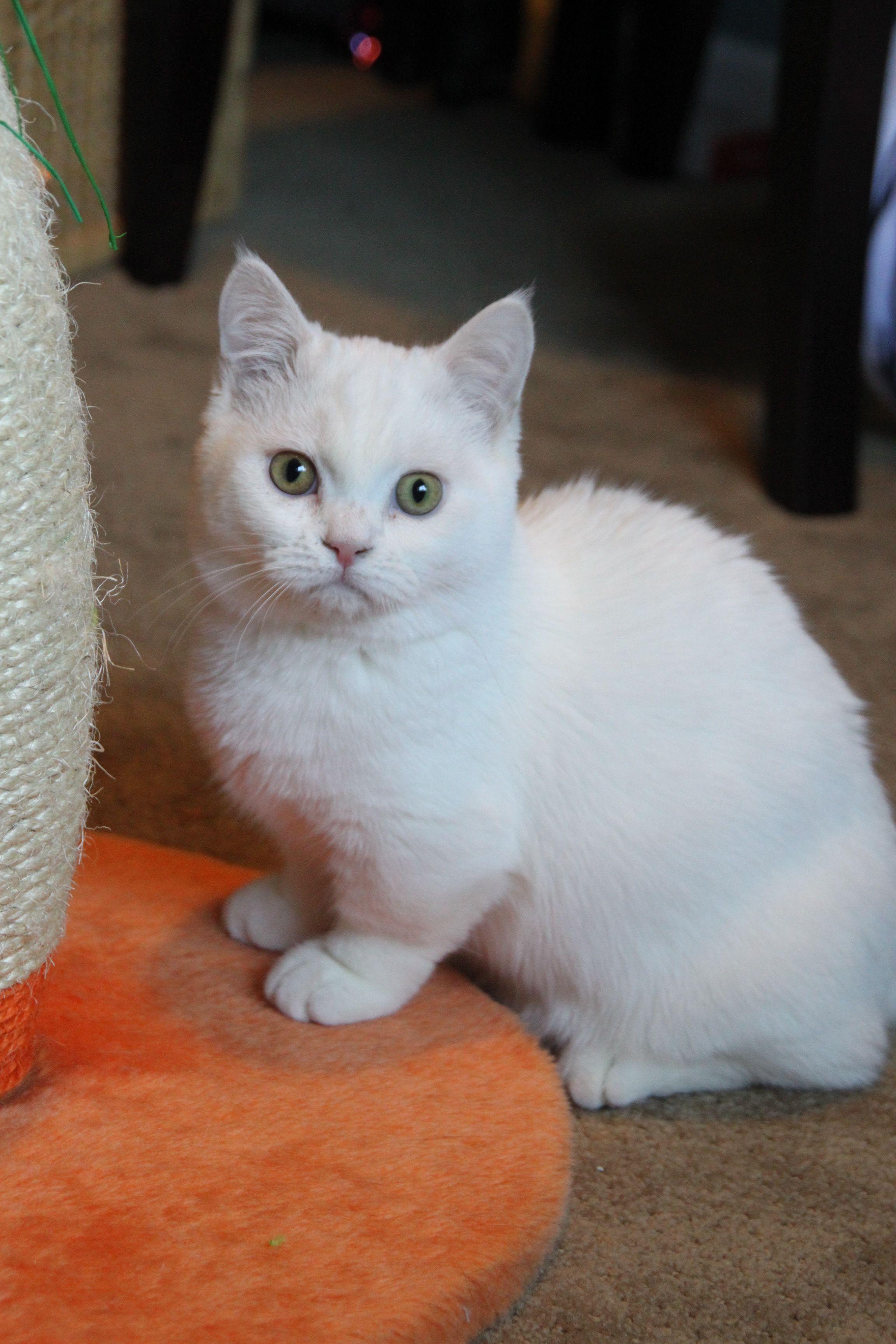 Munchkin Cat Cats Munchkin Cat Cats Kittens