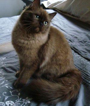 Ohmy Vanilla Fudge Of Southlynn Seal Mink Marble Bengal Cat Cats Bengal Kitten