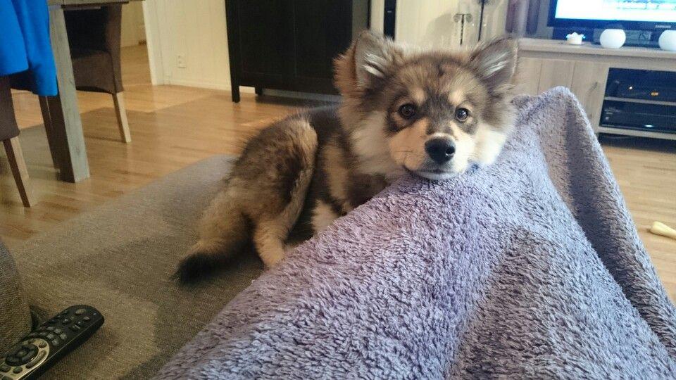 Pin Pa Finsk Lapphund