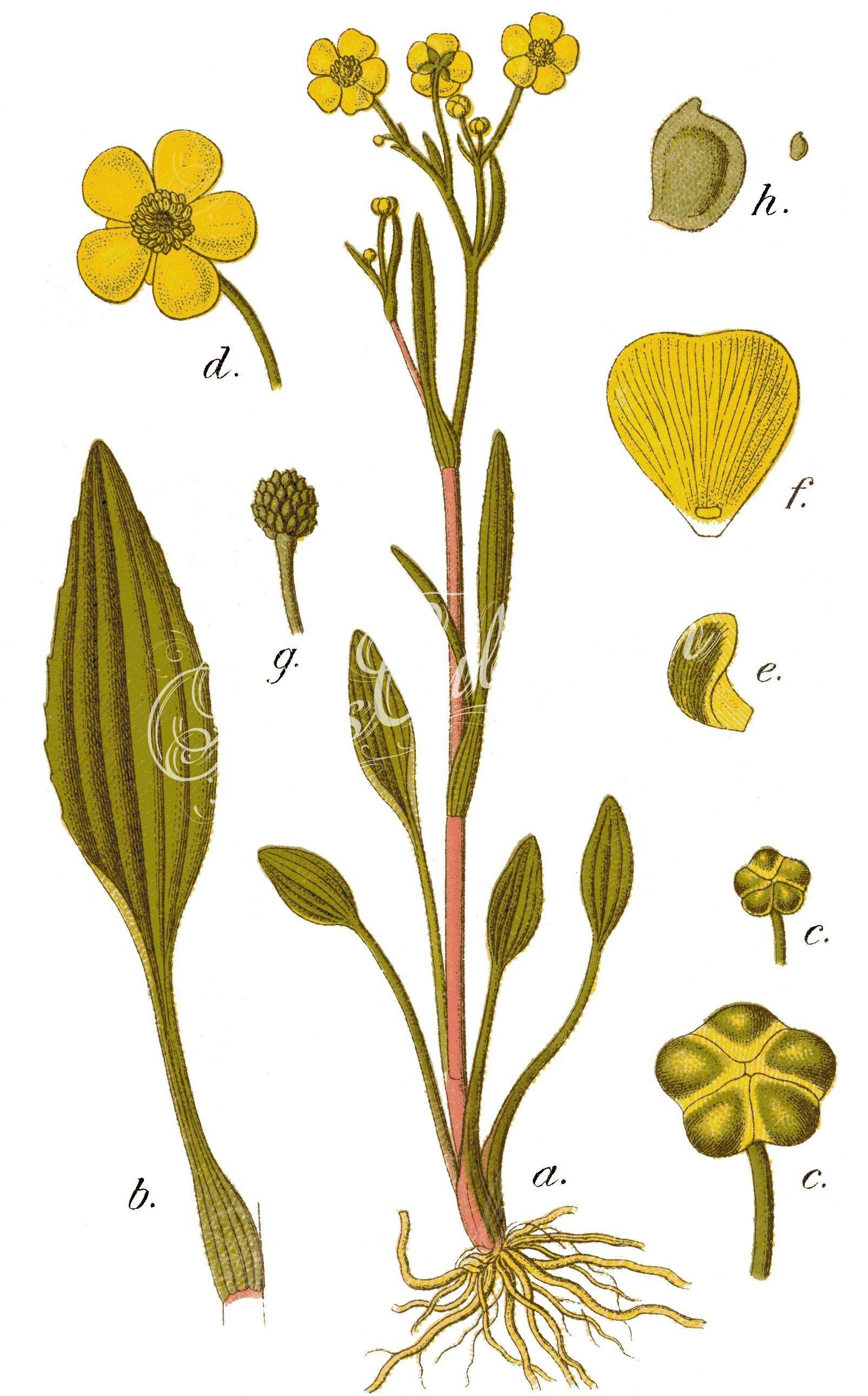 Ranunculus_flammula_-_      ...