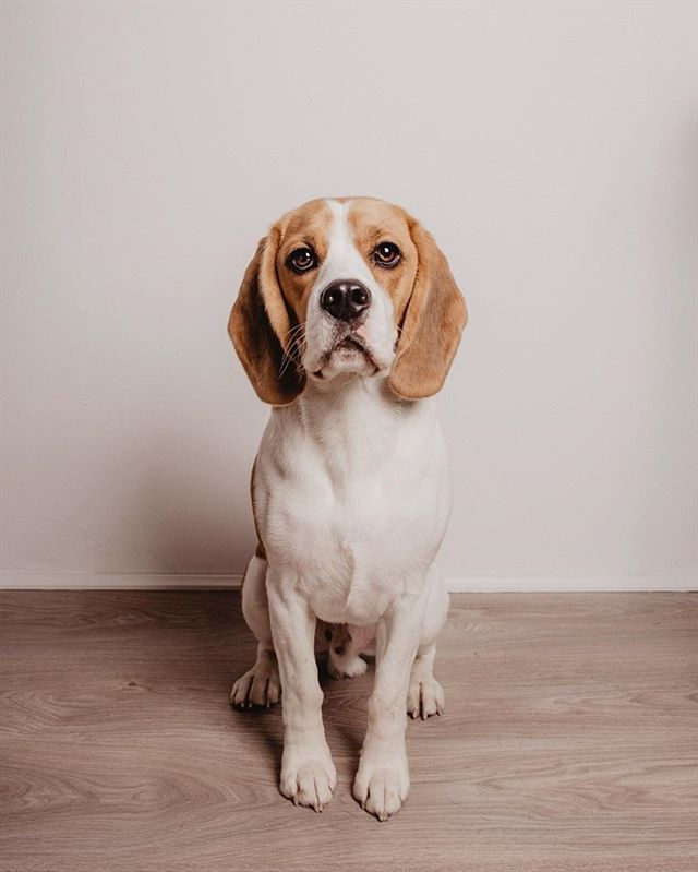 Pin By Tammy Shutter On Beagles Cute Dog Pictures Beagle Dogs