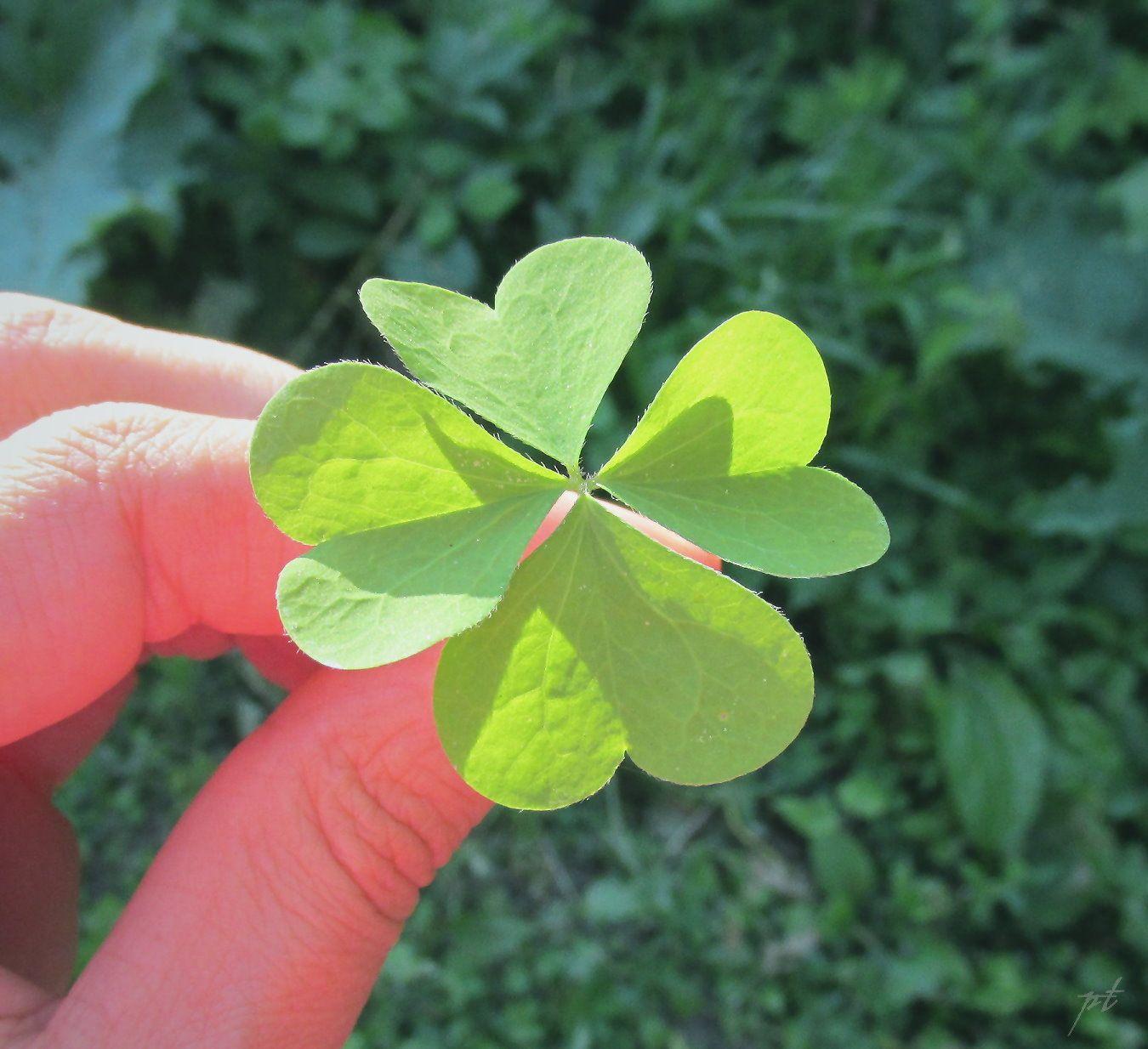 My Lucky Day 4 Leaf Clover Bunga Daun