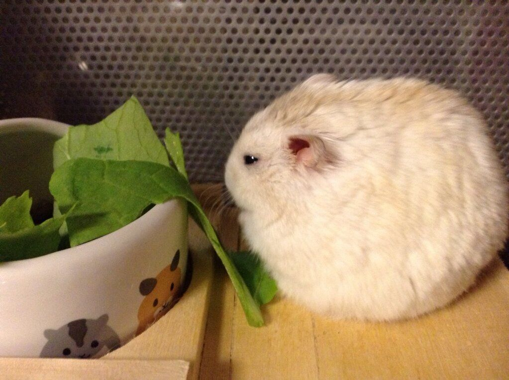 I M In Shape Round Is A Shape Cute Hamsters Animals Beautiful Chinchilla