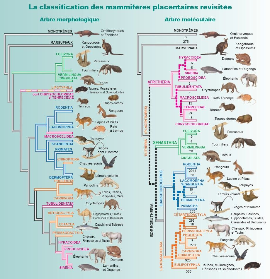 Clification Of Mammals Notions Taxonomy Planet