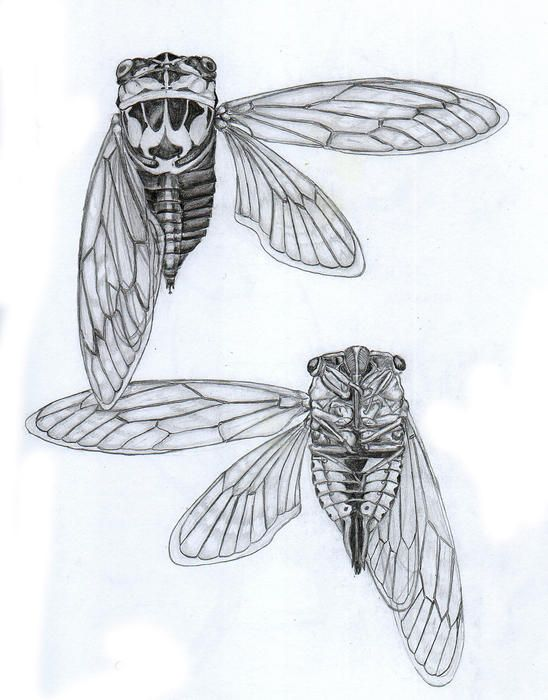 Cicada Diagram Inspiration By Justin Overholt Tattooables