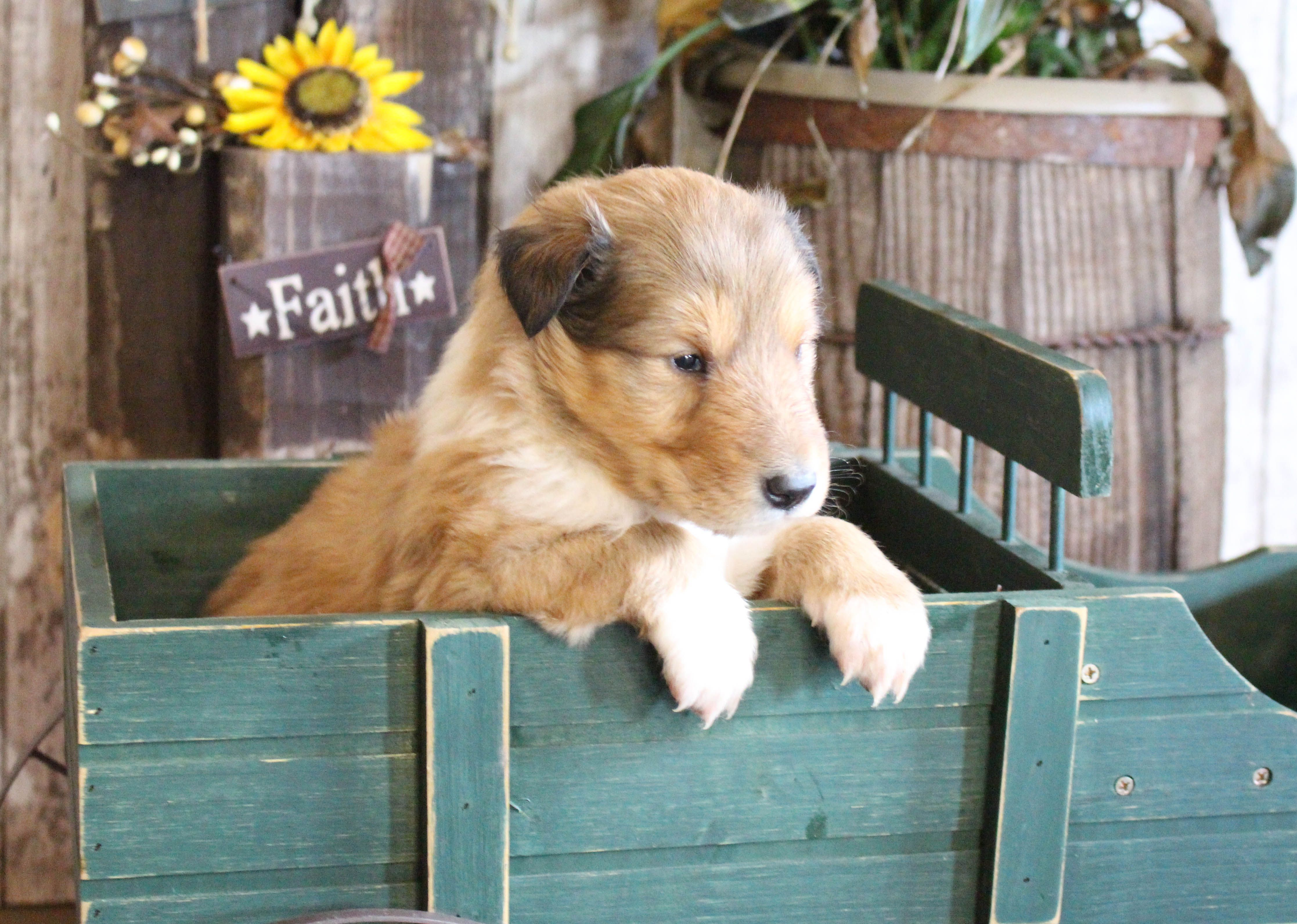 Makaya Collie Female Puppy For Sale In New Haven Indiana