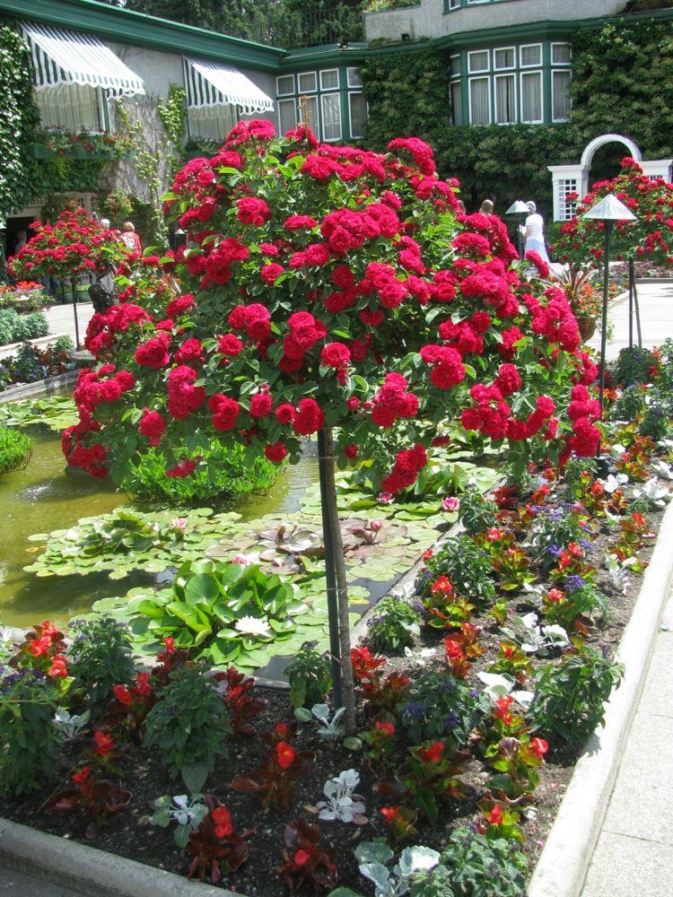 Garten Bepflanzung Gartenteich Rosen Hochstamm Rot Bodendeckerrosen Gartengestaltung Pflanzen