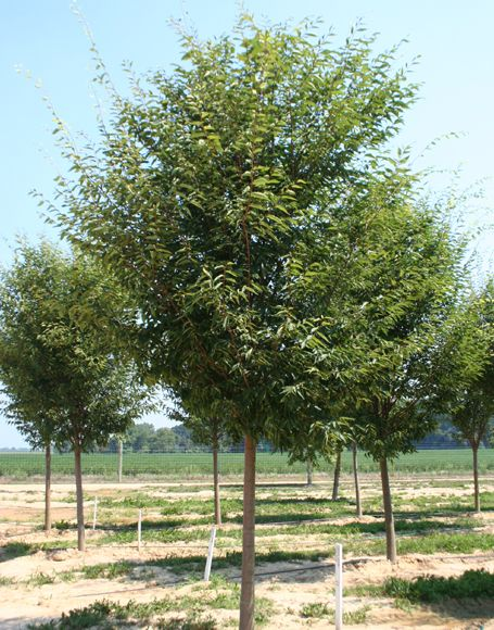Common Japanese Zelkova Google Search Shade Trees