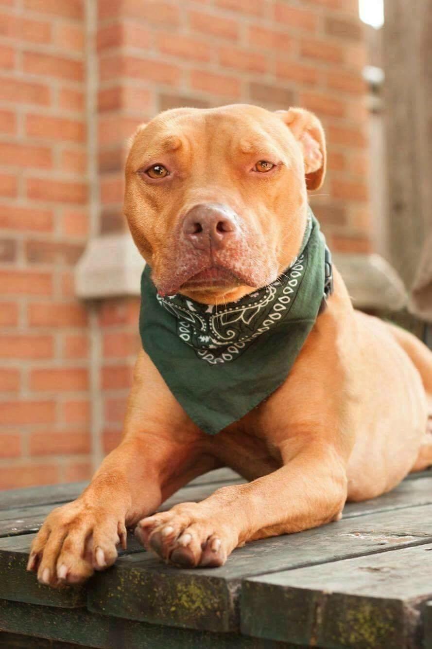 Teddy Pitbull Pitbull Terrier Pitbulls Red Nose Pitbull