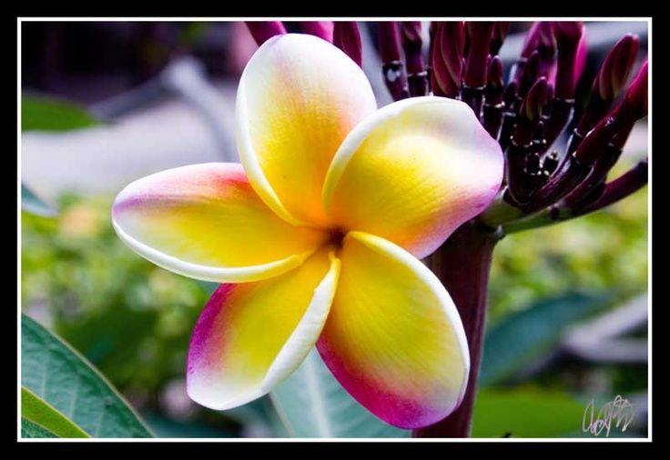 Pin Plumeria Flower Meaning on Pinterest