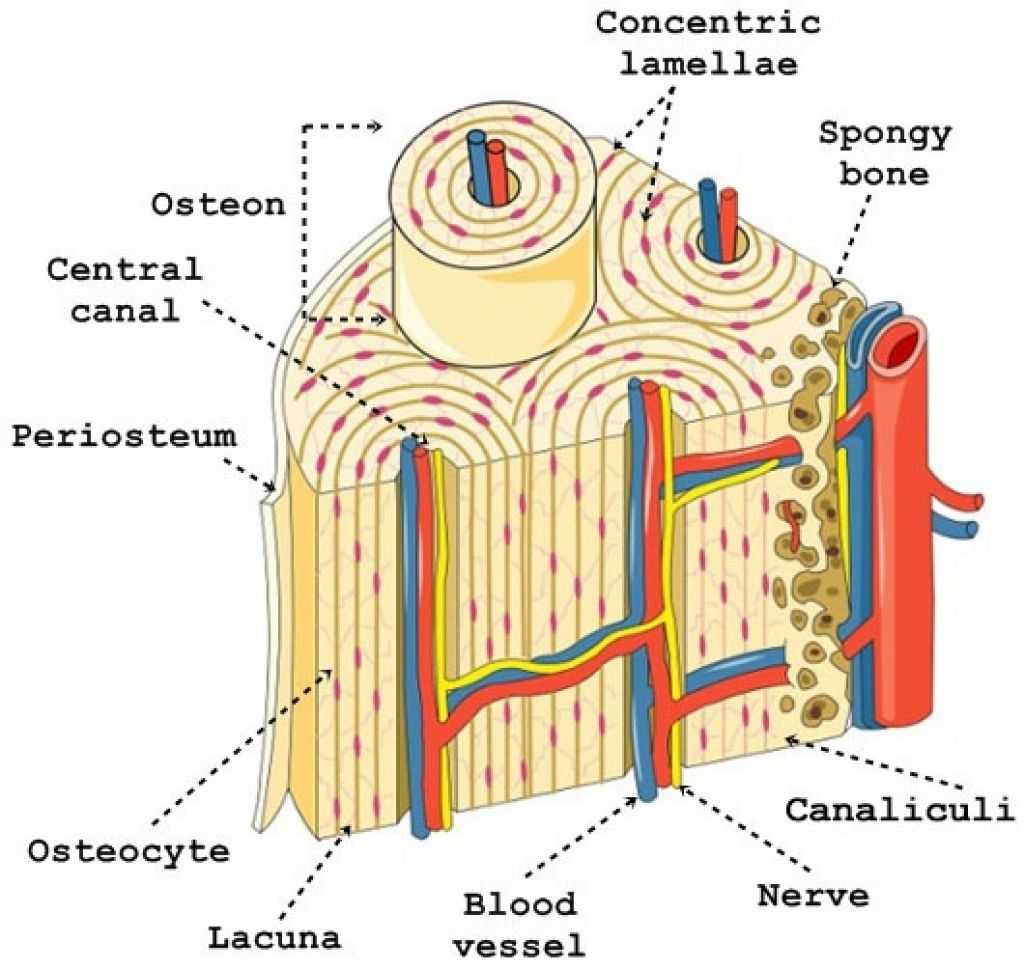 osteon diagram lab wiring diagram schema img Nervous Tissue Diagram osteon diagram lab automotive wiring diagrams osteon canaliculi central canal marrow cavity osteon diagram lab