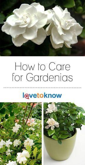 Gardenia Plant Care Lovetoknow Gardenia Plant Fragrant Plant