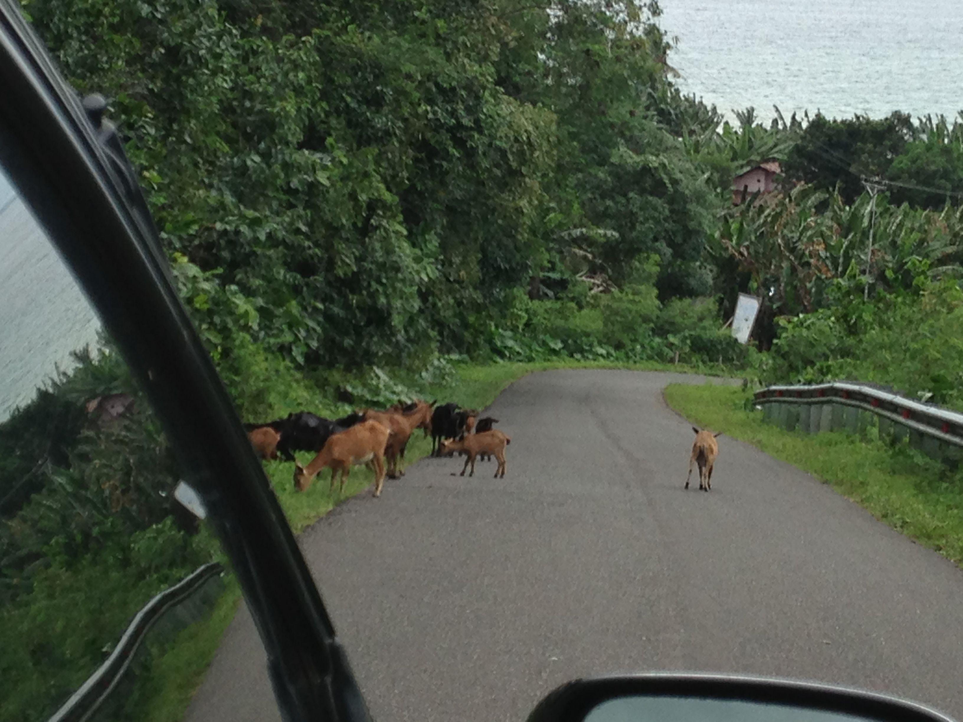Goats! Halmahera, Indonesia