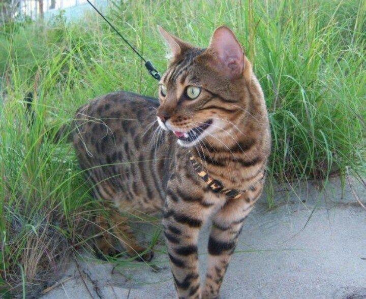 Interesting Facts And Beautiful Photos Of Bengal Cats Bengal Cat