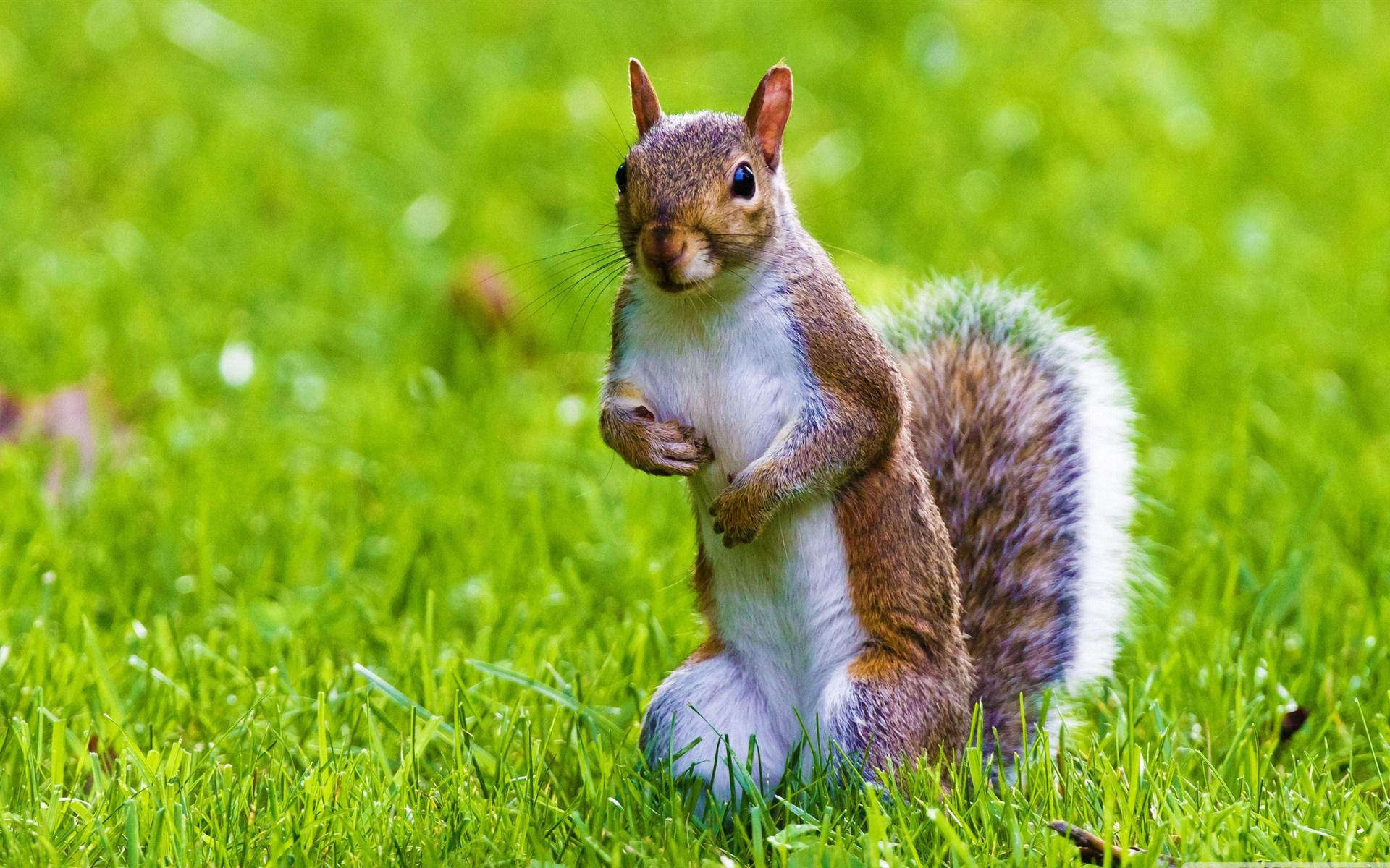 cute squirrel free background - photo #8