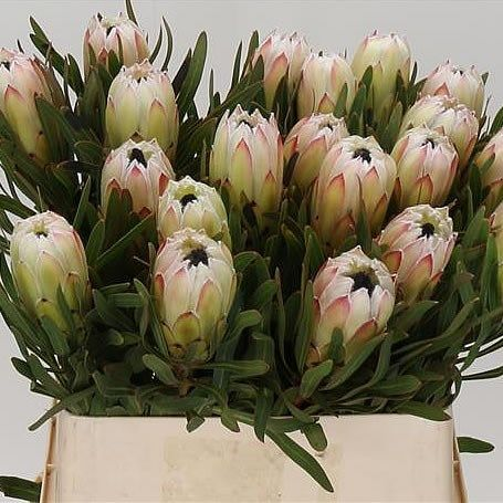 Protea White Night Might Be Available At The Right Time Protea Flower April Flowers Wholesale Flowers