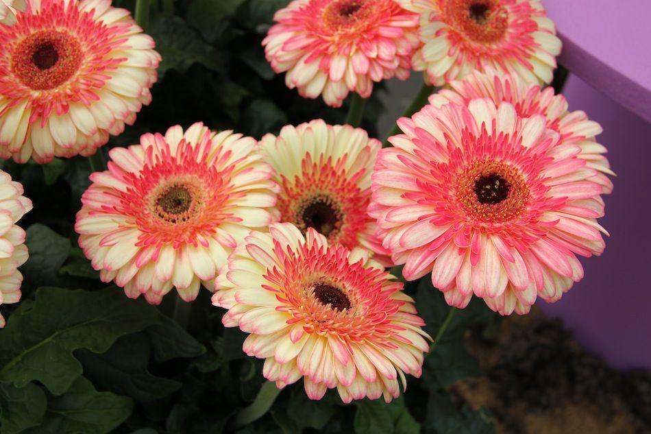Karoo Gerbera Gerbera Flowers Plants