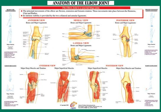Anatomy Of The Elbow Google Search Anatomy And Physiology