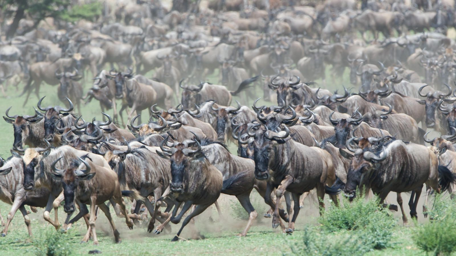 Stampede Of Wildebeest Wildebeest Migration African