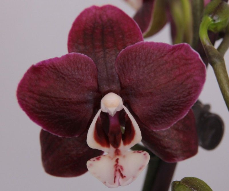 how to grow phalaenopsis orchids from seed