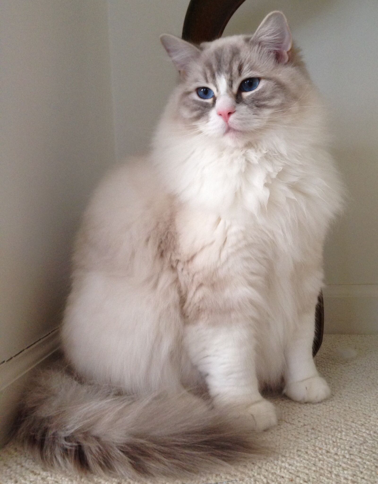 Coopurr at 1 year old. Coopurr is a Bluepoint Lynx High