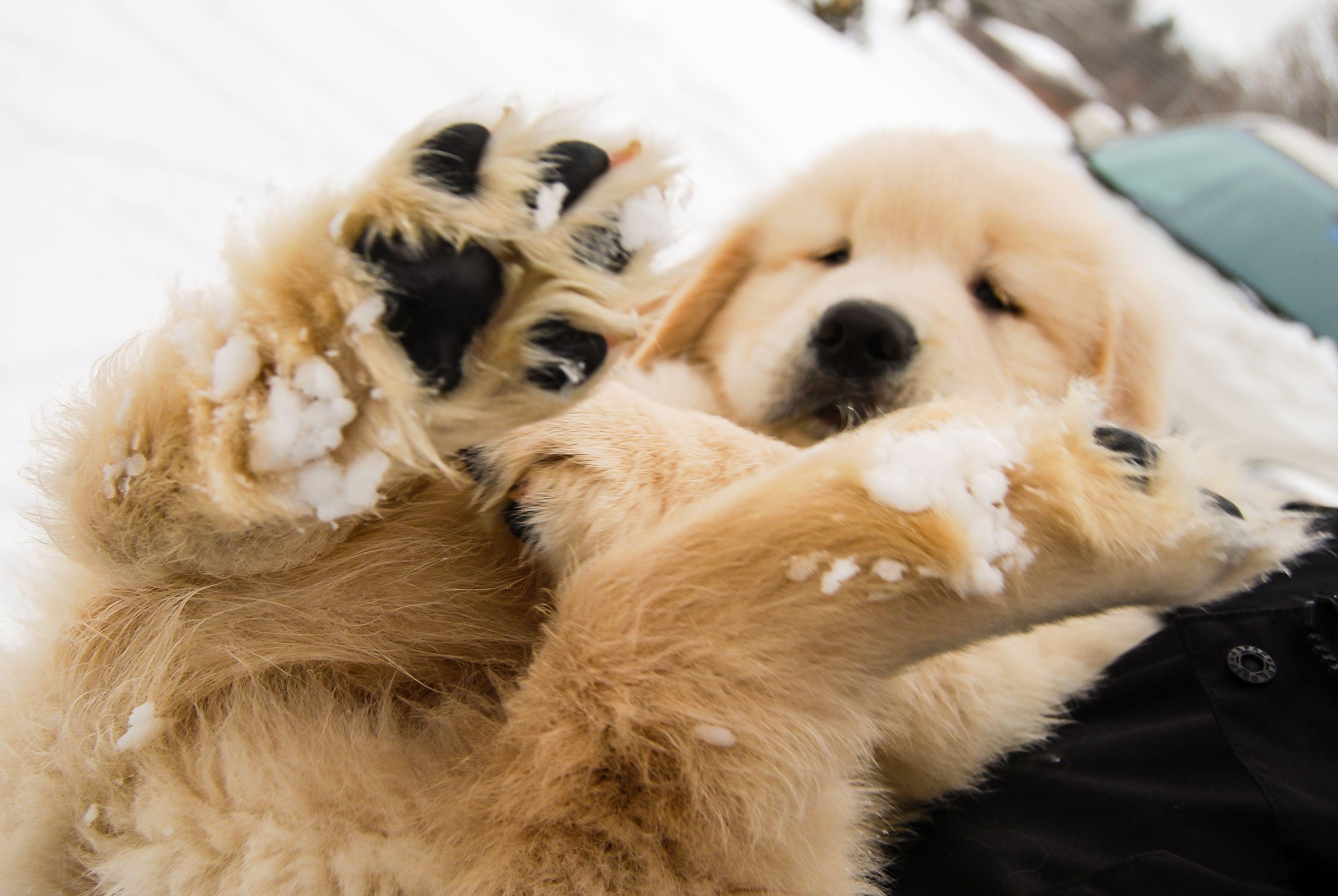 Golden Retriever Puppy In Maine Cute Dogs Puppies
