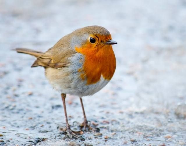 European Robin. https://www.facebook.com/OurSimplyElegantWorld/photos/a.497437343631669.103741.486900804685323/835948999780500/?type=1&theater