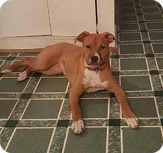 Boxer Dog for adoption in Mission, Kansas Puppycakes