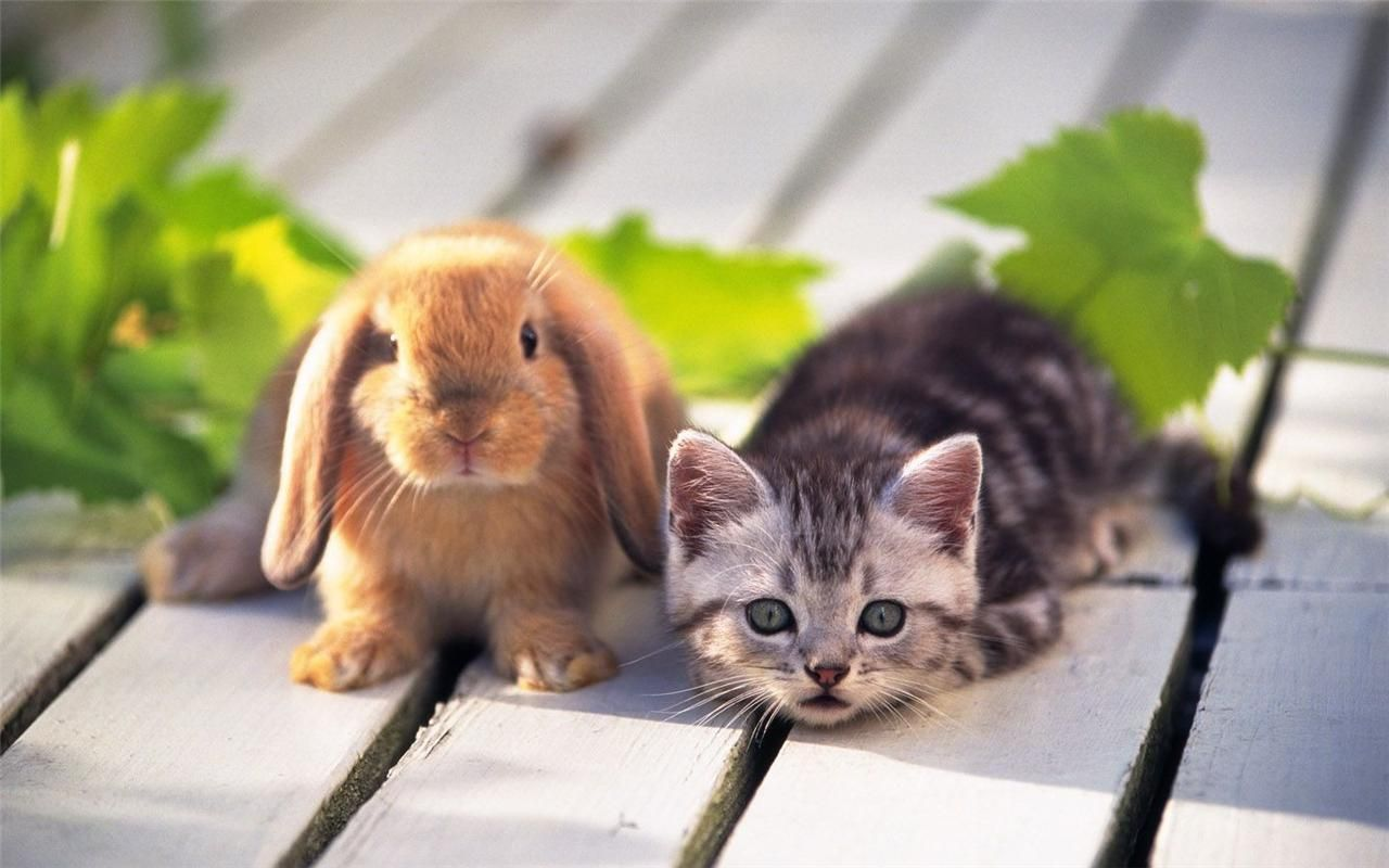 Kitten Bunny Buddies Glossy Poster Picture Photo Cat Rabbit Friends Cute 815 Cute Puppies And Kittens Cute Animals Kittens Cutest