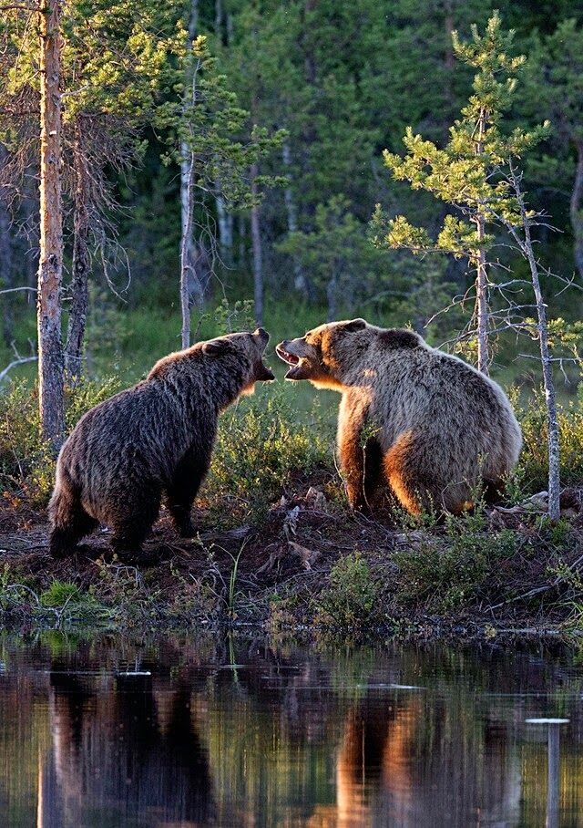 Bears threatening each other