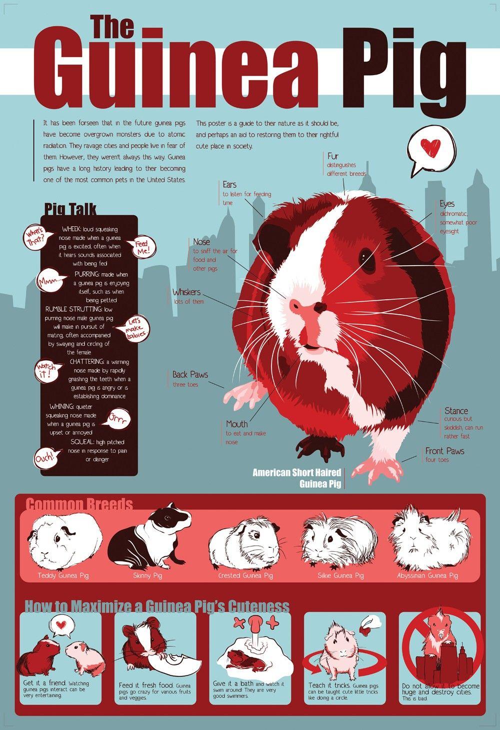 Guinea pig petit cochon d 39 inde guinea pig cochon d 39 inde lapin et rongeur - Comment dessiner un cochon d inde ...