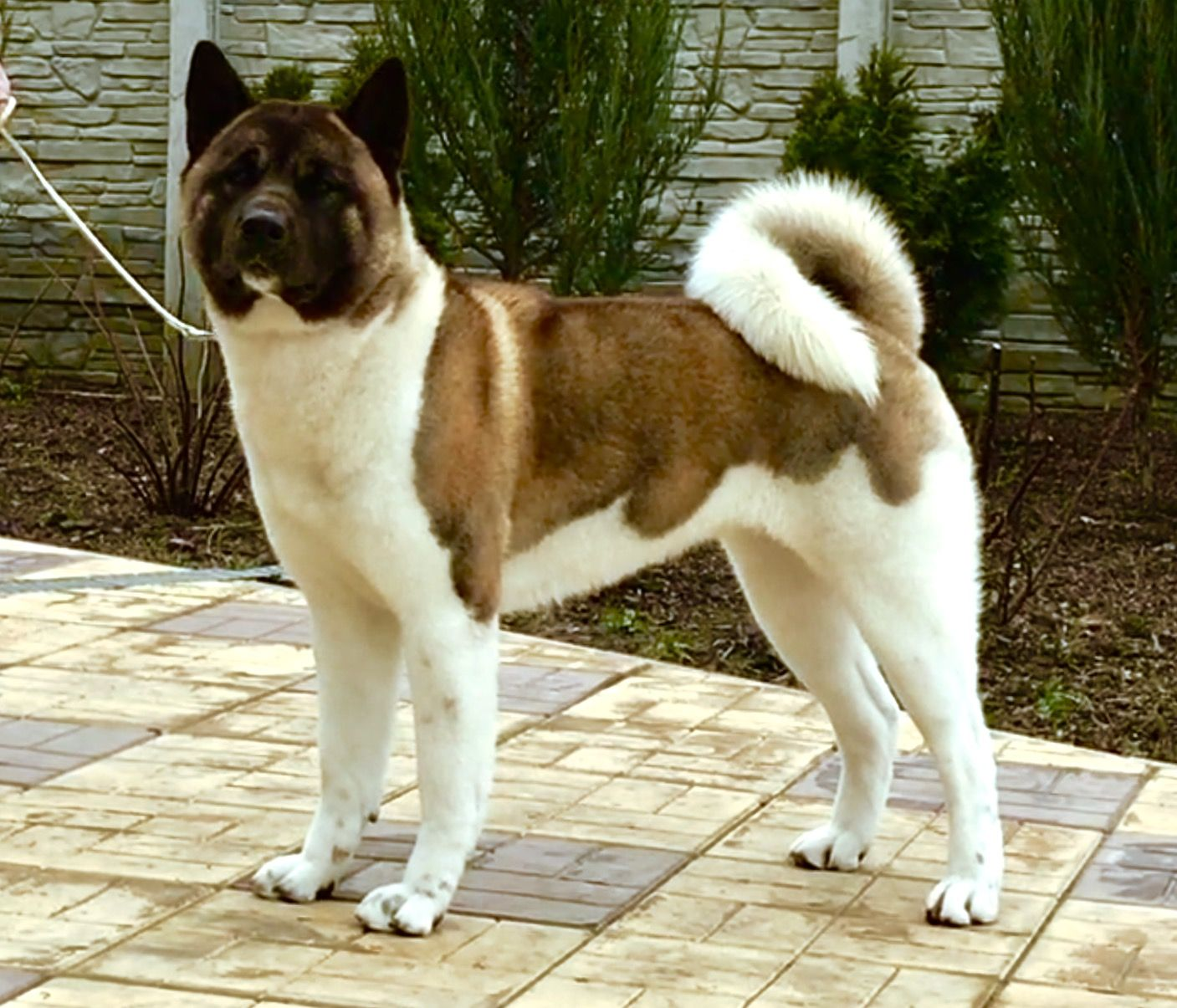 American Akita Indi All For Almighty Kennel Akita Dog