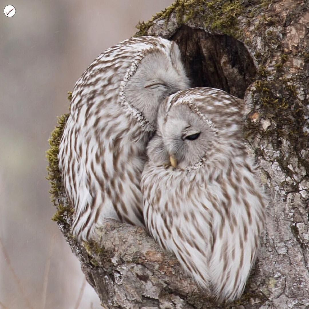 """ Congratulations...  @h0841  Bird Species :Ural Owl .  Our ""Featured Artist"" of the Day ! .  Please take time to visit the gallery of this…"""